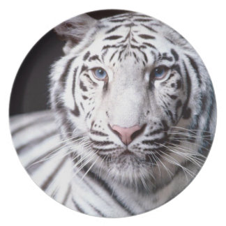 White Bengal Tiger Photography Plate