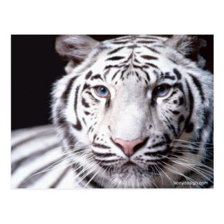 White Bengal Tiger Photography Postcard