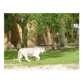 White Bengal Tiger Postcard