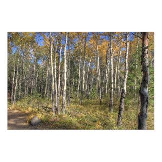 White Birch Trees, Jasper National Park Photo Print