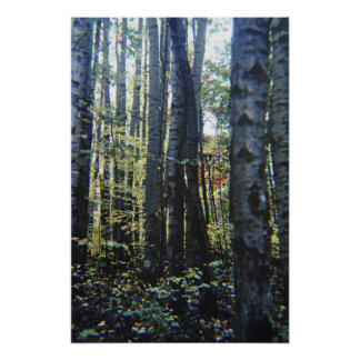 White birch trees poster