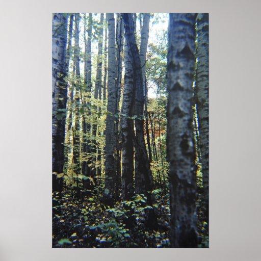 White birch trees poster