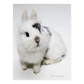White, black and brown rabbit postcard