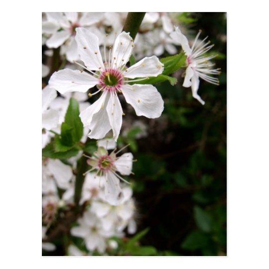 White Blackthorn Blossom Postcard