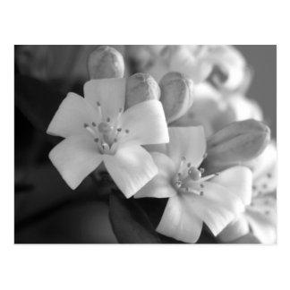 White Blossom Postcard