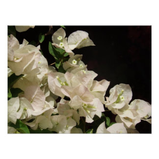 White Bougainvillea Flowers Poster