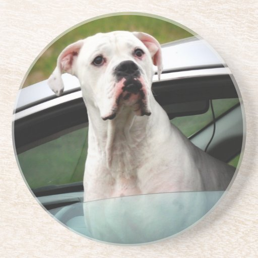 White Boxer in a Car Coasters