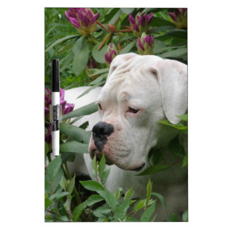 White Boxer in Pink Rhodies Dry Erase Board