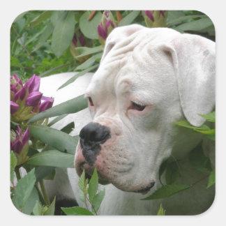 White Boxer in Pink Rhodies Square Sticker