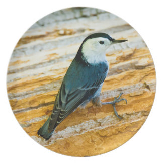 White-Breasted Nuthatch (Sitta Carolinensis) Plate