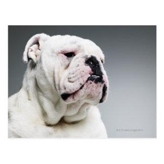 White Bull dog Postcard
