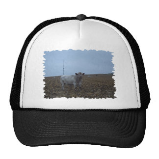 White Bull in a newly harvested Iowa Corn Field Cap