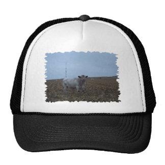 White Bull in a newly harvested Iowa Corn Field Cap