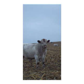 White Bull in a newly harvested Iowa Corn Field Personalized Photo Card