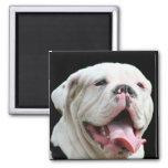 White Bulldog  Magnet
