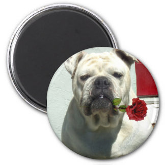 White bulldog with rose magnet