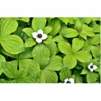 White Bunchberry Cut Outs