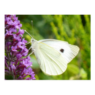 White Butterfly 1 Postcard