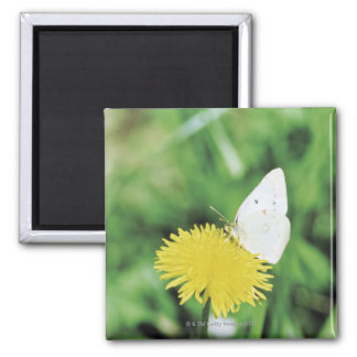 White butterfly feeding on a dandelion magnet