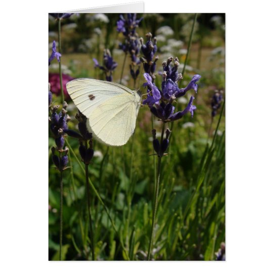 White butterfly on lavender blossoms greeting card