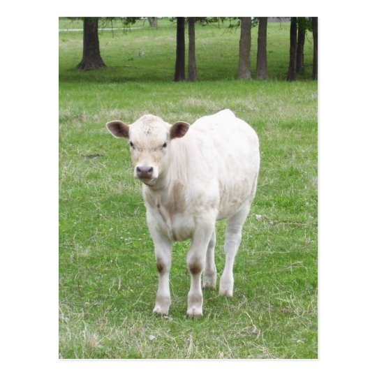 White Calf Post Card