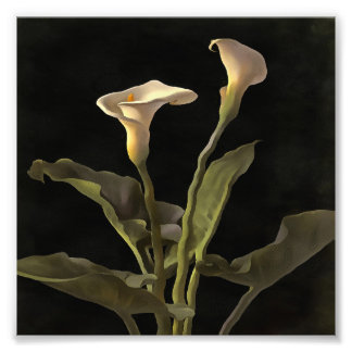 White Calla Lilies On A Black Background Photograph