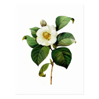 White Camellia by Pierre Joseph Redoute Postcard