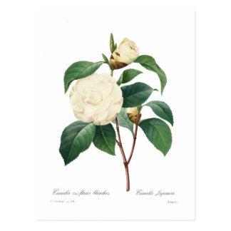 White Camellia Postcard