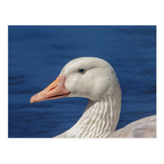 White Canadian Goose Postcard