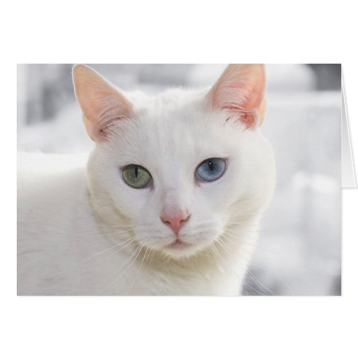 white cat with odd eyes greeting cards