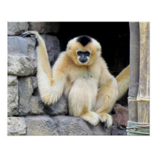 White Cheeked Gibbon (2264) Poster