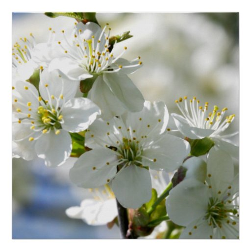 Cherry Blossom Tree Black And White: White Cherry Tree Blossoms Posters