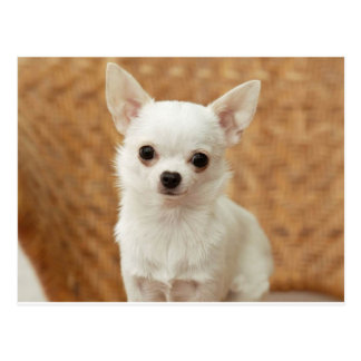 White Chihuahua Postcard