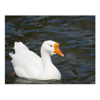White Chinese Goose Post Card