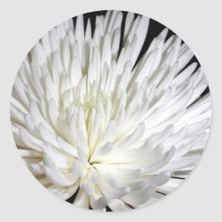 White Chrysanthemum Flower Mums Flowers Photo Classic Round Sticker