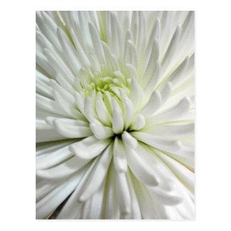 White Chrysanthemum Flower Mums Flowers Photo Postcard