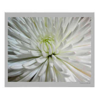 White Chrysanthemum Flower Mums Flowers Photo Poster