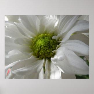 White Chrysanthemum Print