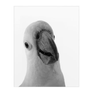 White cockatoo animal photography peekaboo acrylic print