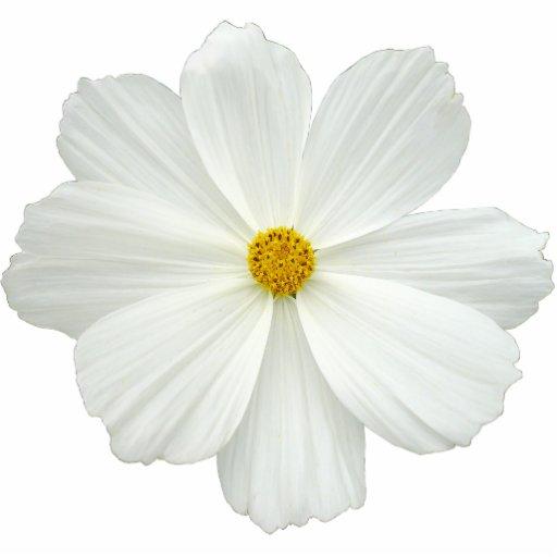 White Cosmos Flower Photo Cutout