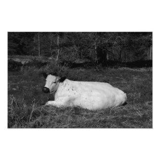 White Cow Luxuriates Photo Print