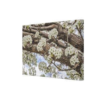 White Crabapple Blossoms Canvas Prints