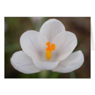 White Crocus Flower Card