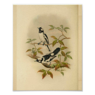 White Crowned Flycatcher Black Bird Vintage Print