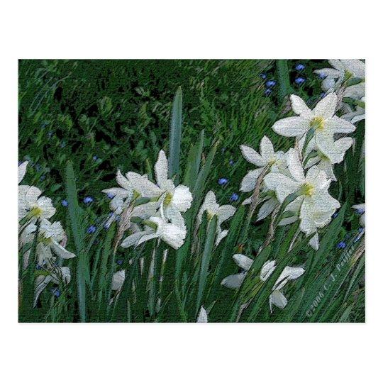 'White Daffodil' Postcard