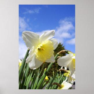 White Daffodils Narcissus Poster Print