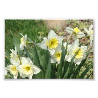 White Daffodils Photograph
