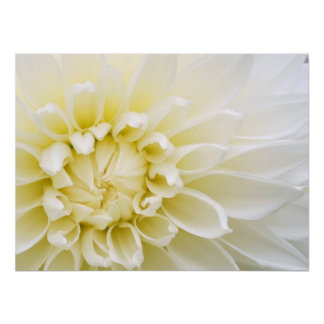 White Dahlia Print