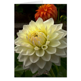 White Dahlia with Fireworks Greeting Card
