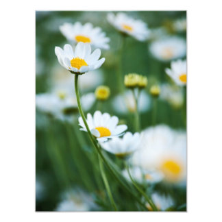 White Daisies in a Field - Customized Daisy Photo Print